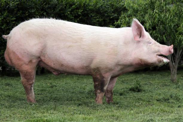 동물 농장 여름에 젊은 국내 돼지 sow의 측면 보기 사진 - 코 주둥이 뉴스 사진 이미지