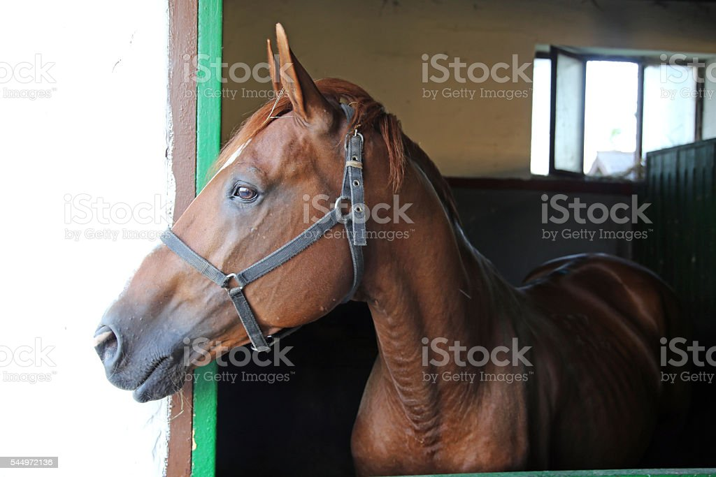 Side view portrait of a beautiful purebred anglo-arabian stallio stock photo