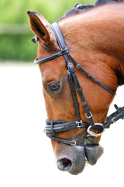 Side view portrait of a dressage horse during training stock photo