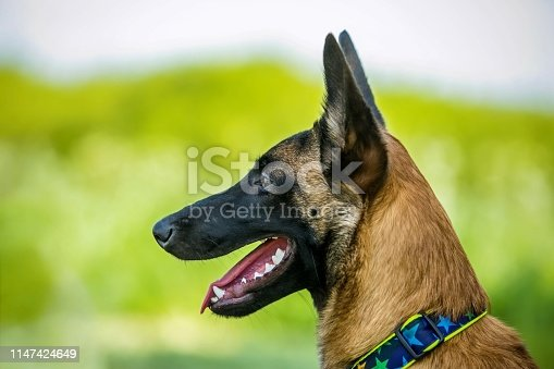 A dog with open mouth, pink tongue, white teeth, dog collar on. Sunny summer day.