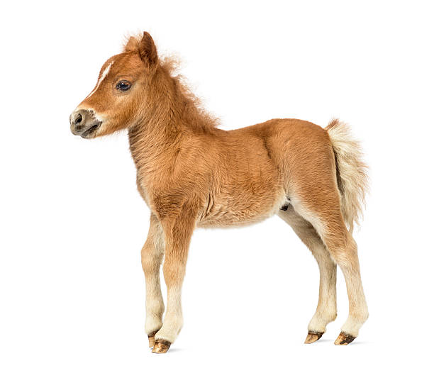 Side view young poney, foal against white background Side view young poney, foal against white background foal young animal stock pictures, royalty-free photos & images