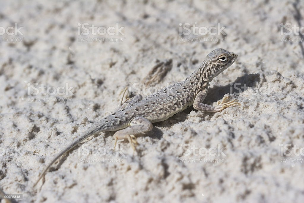 Side-blotched Lizard in the White Sands of New Mexico. stock photo