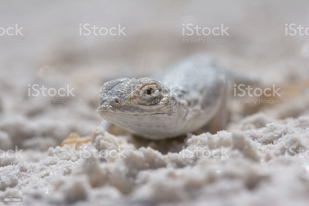 Side-Blotched Lizard stock photo