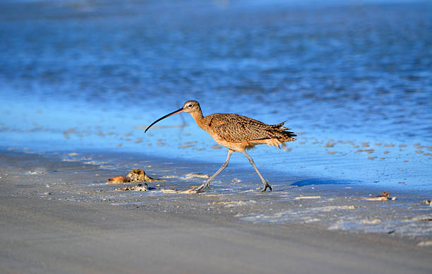 Sideview Curlew stock photo