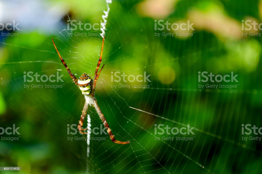 Sideview of a colourful spider weaving its web to trap its prey. stock photo