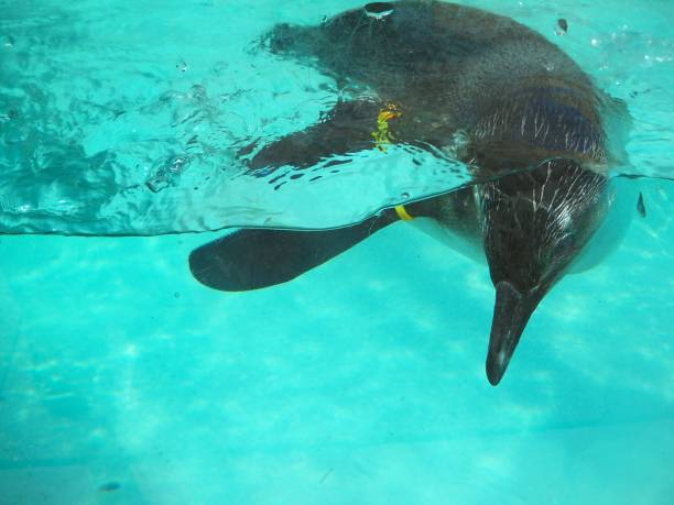 Sideview of a penguin diving stock photo