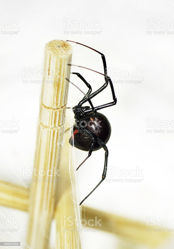 Sideview of black widow spider stock photo