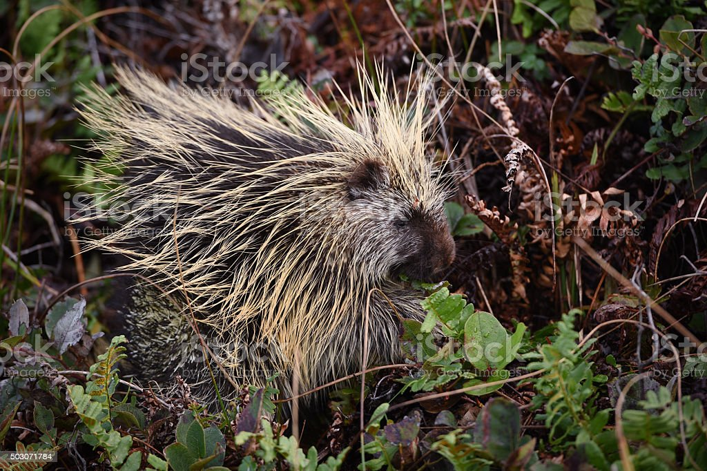 sideview of porcupine among green plants stock photo