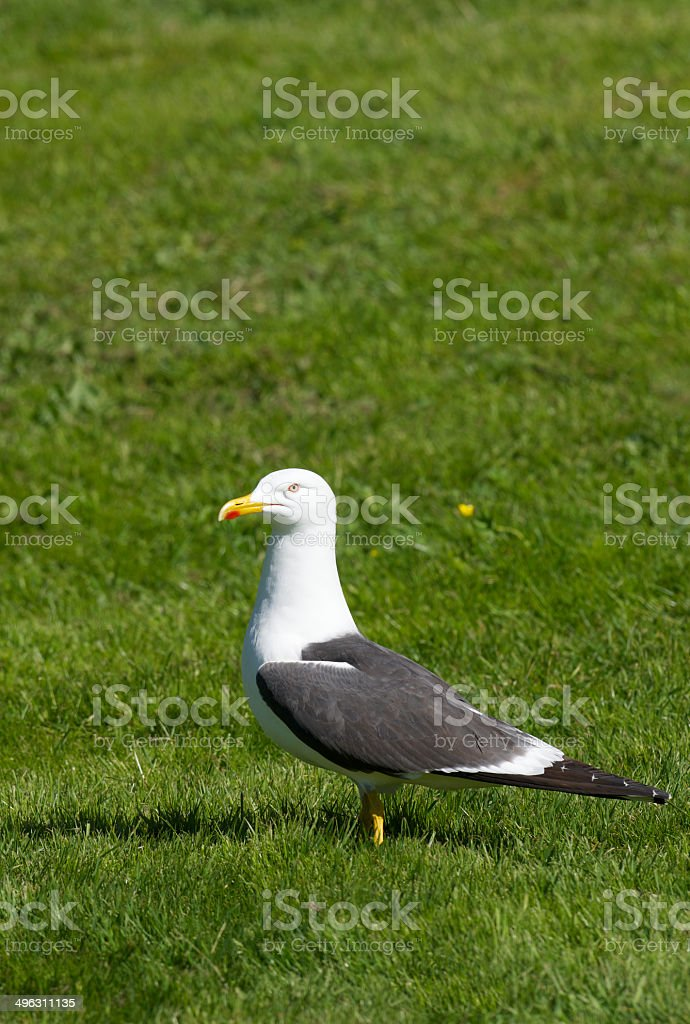Side-view of seagull standing on fresh green spring grass royalty-free stock photo
