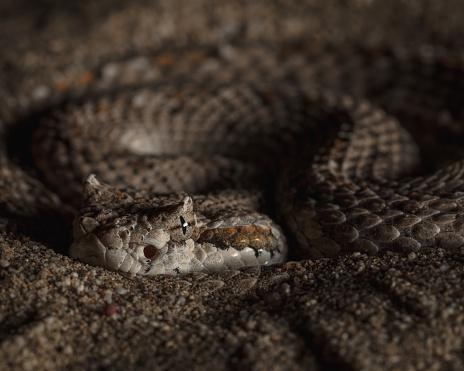 Sidewinder Rattlesnake coiled, buried in sand, waiting to ambush prey.