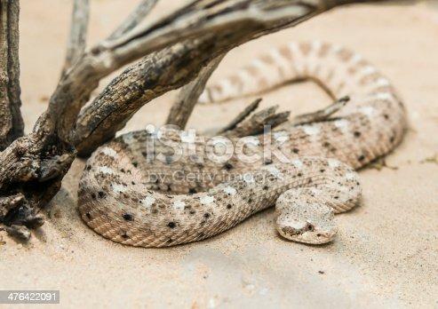 Rattler in sand under dead branches