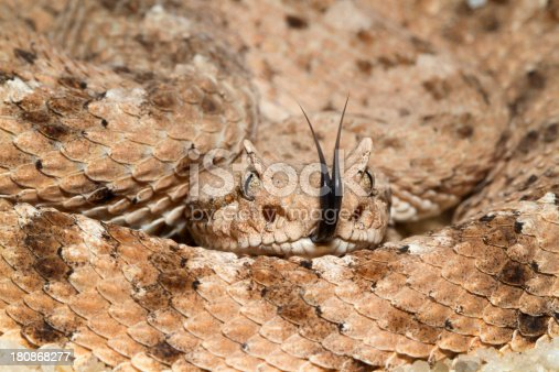 Sidewinder Rattlesnake with Forked Tongue