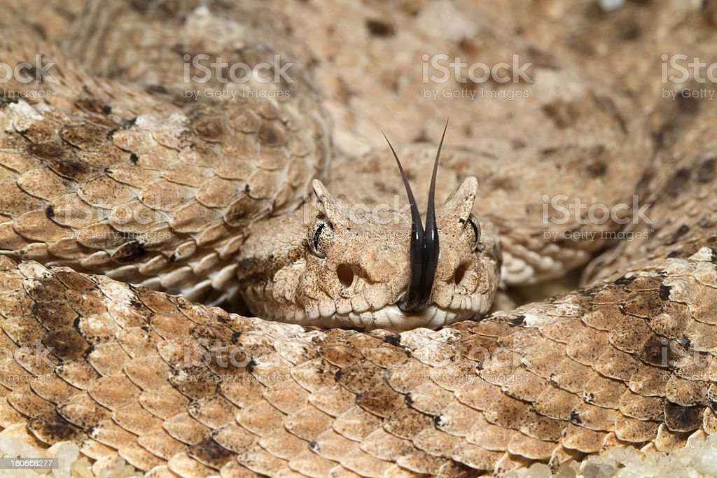 Sidewinder Rattlesnake with Forked Tongue stock photo