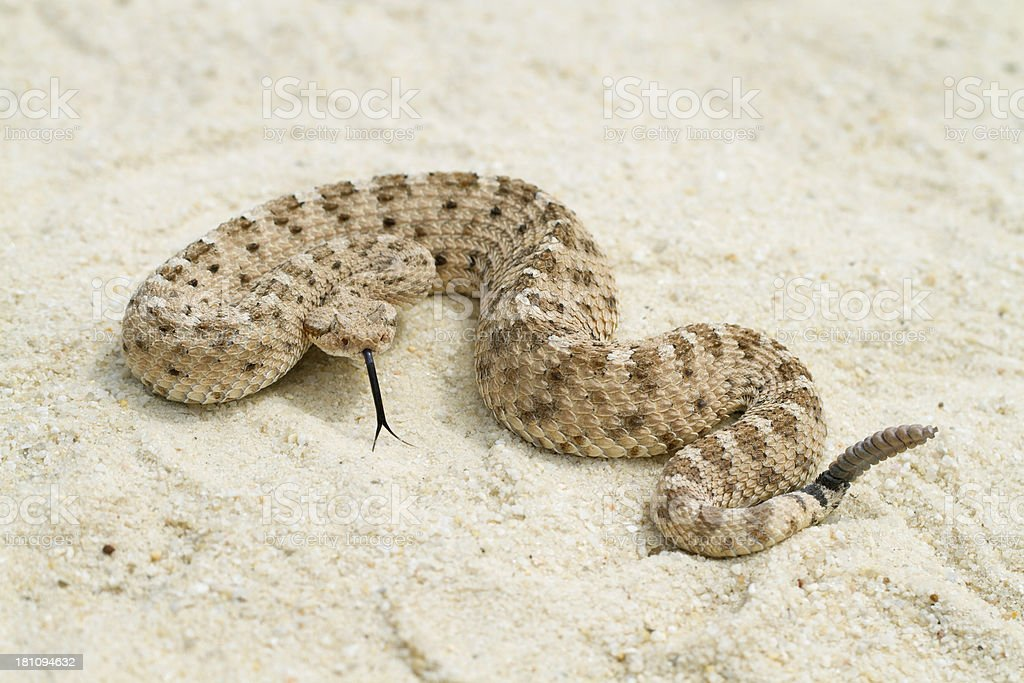 Sidewinder Rattlesnake with Forked-tongue stock photo