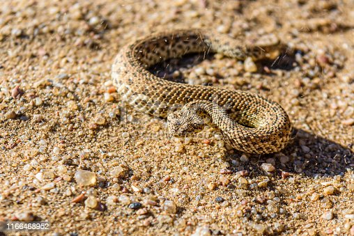 Sidewinder snake on a sand dune in the Namib desert, Namibia