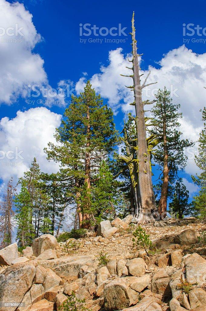 Sierra Junipers Growing in Sierra Nevada stock photo