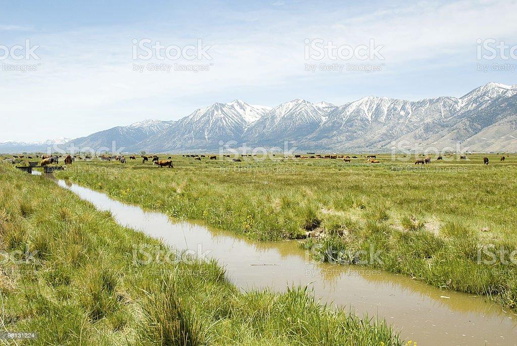 시에라 네바다 산맥 및 축우 royalty-free 스톡 사진