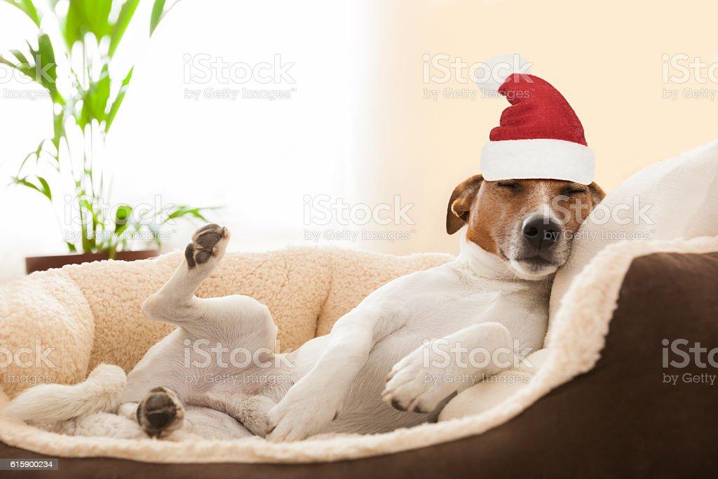 siesta dog at christmas holidays stock photo