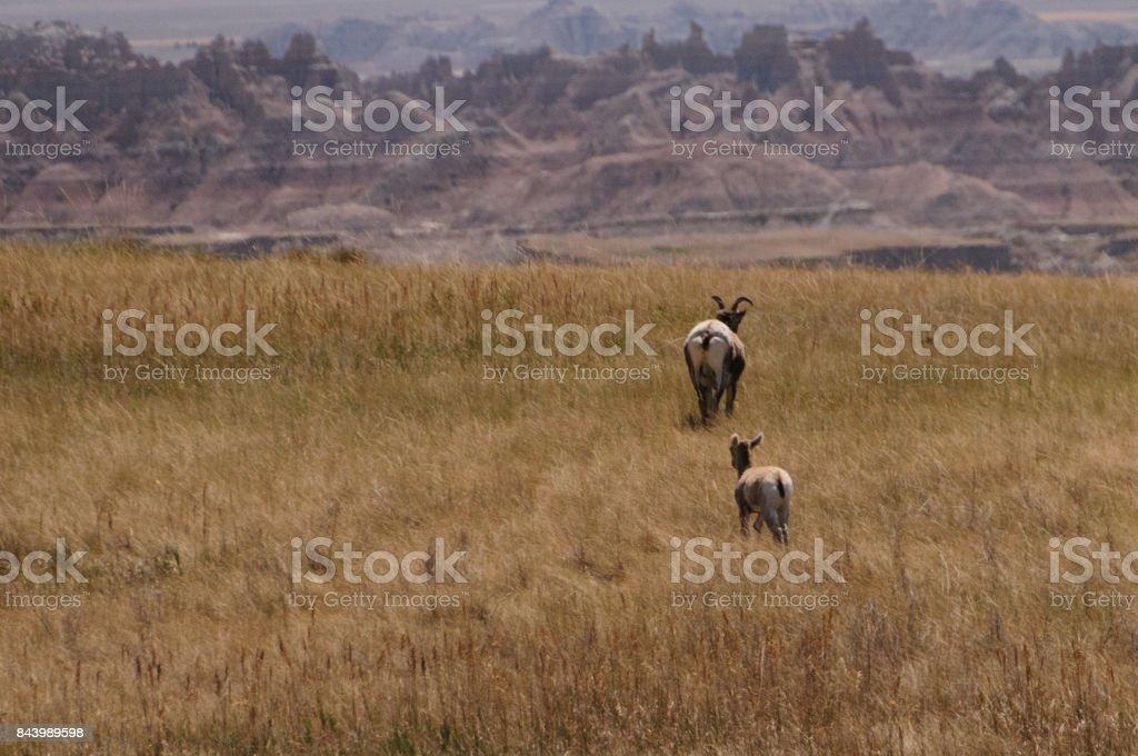 Chifre de SIG ovelhas - foto de acervo
