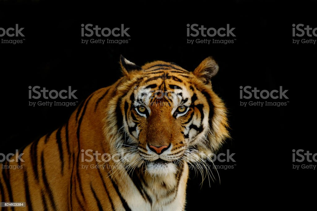 Sight of tiger. stock photo