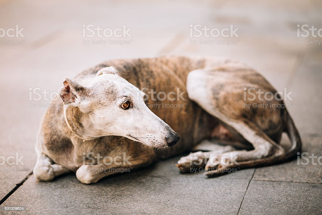 Sighthound dog is lying on street sidewalk stock photo