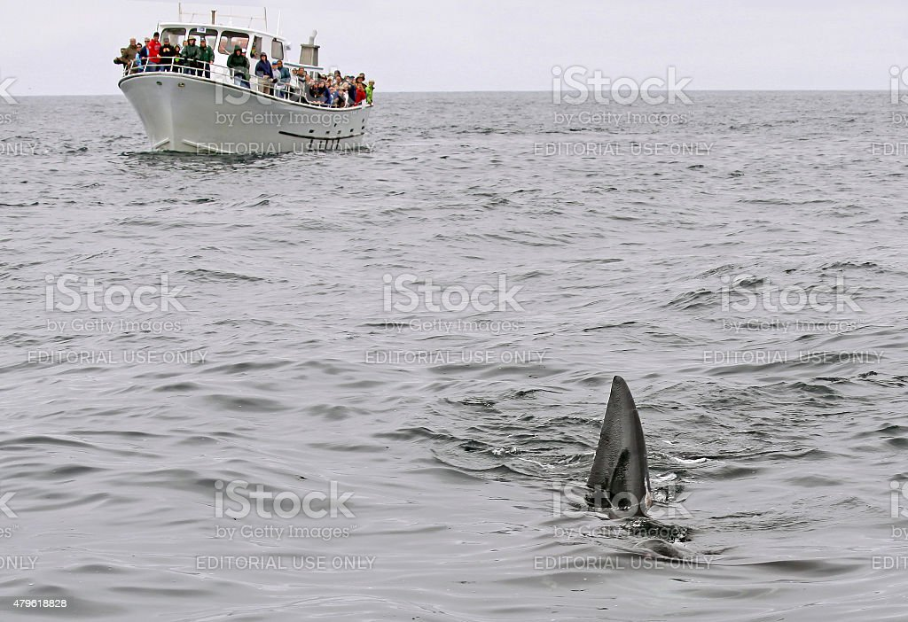 Sighting of a basking shark stock photo