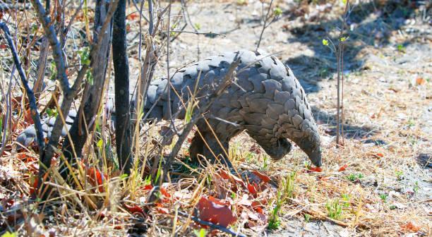 Besucht auf ein seltenes wildes Pangolin, das hinter einem nackten Baum im Hwange Nationalpark, Simbabwe, auswandert – Foto