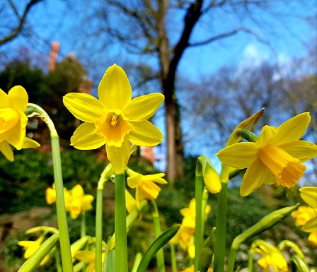 Sign of Spring, yellow Daffodils