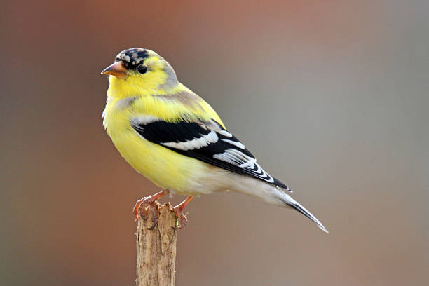 Signs of Spring An American Goldfinch (Carduelis tristis) starts it's springtime molt to vibrant yellow breeding plumage. american goldfinch stock pictures, royalty-free photos & images