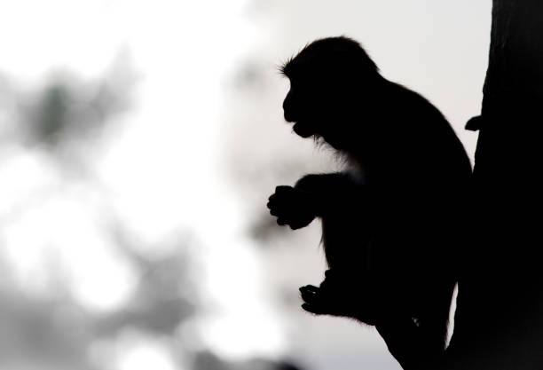 Sihouette of a monkey resting on a tree stock photo