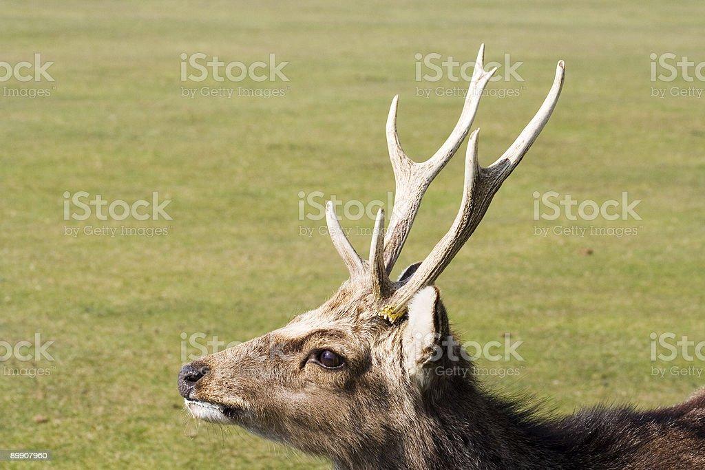 Ciervo Sika 2 foto de stock libre de derechos
