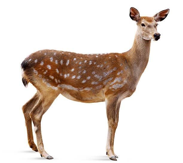 cerf sika, cervus nippon - famille du cerf photos et images de collection