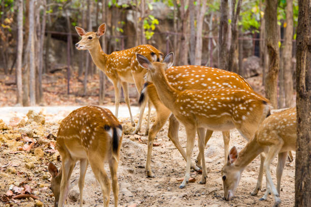 Sika deer family Asia, Deer, Mother, yala stock pictures, royalty-free photos & images