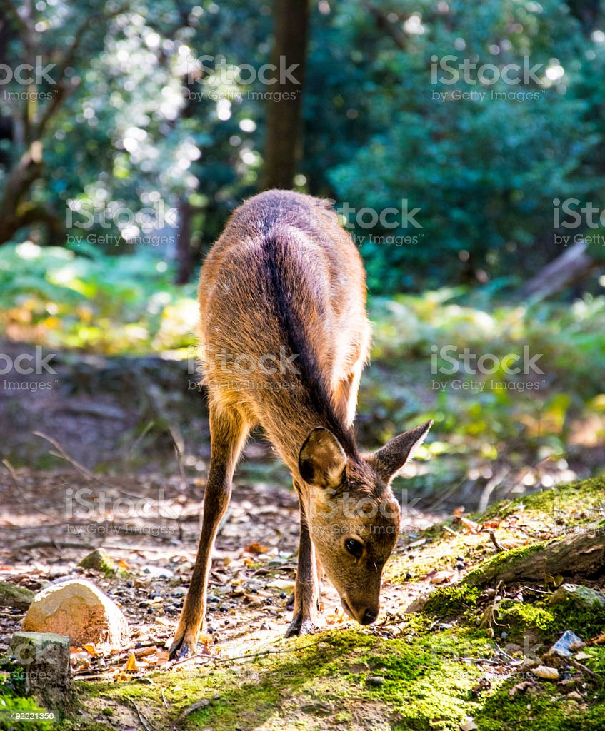 Sika Deer in Nara Park stock photo