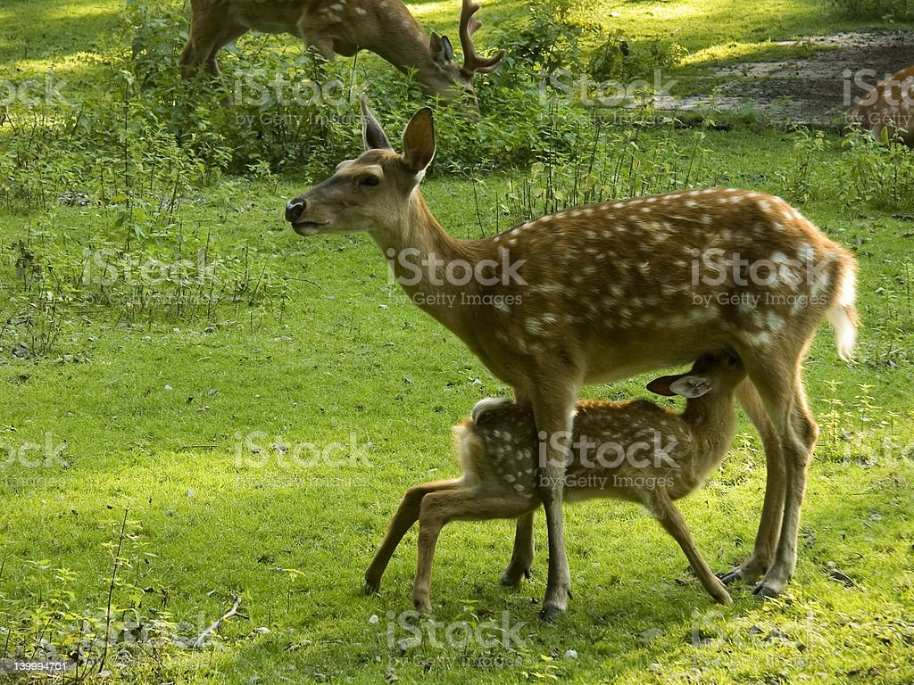 Sika deer with fawn (Cervus nippon) stock photo