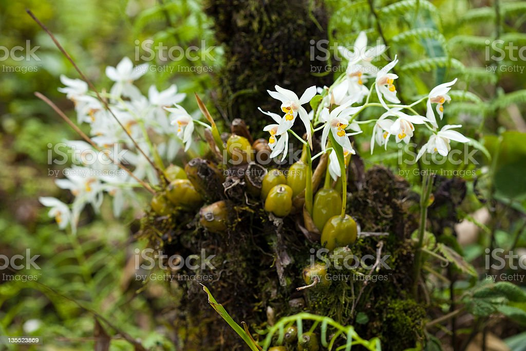 Sikkim Orchids royalty-free stock photo