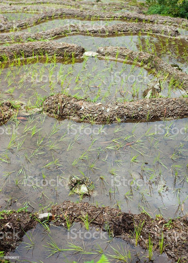 Sikkim Rice Terrace royalty-free stock photo