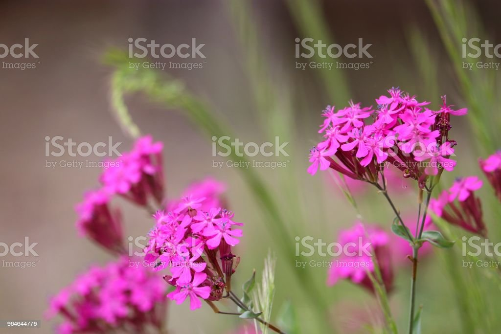 Silene armeria royalty-free stock photo