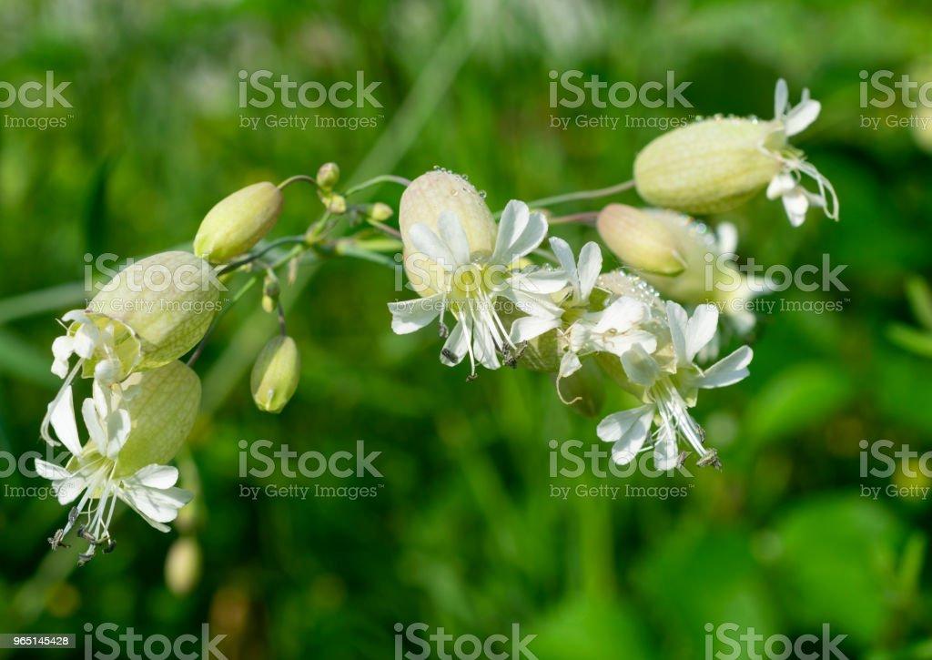 silene vulgaris flowers royalty-free stock photo