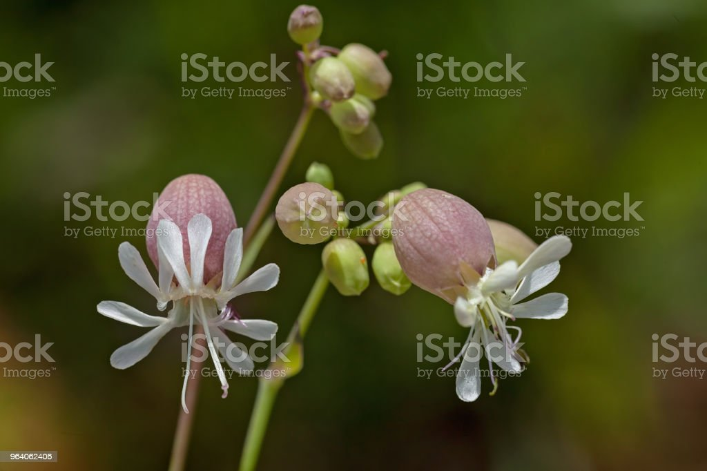Silene vulgaris - Royalty-free Bladder Stock Photo