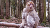 Silent Ape