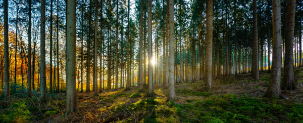Silent Forest in golden autumn with beautiful bright sun rays stock photo