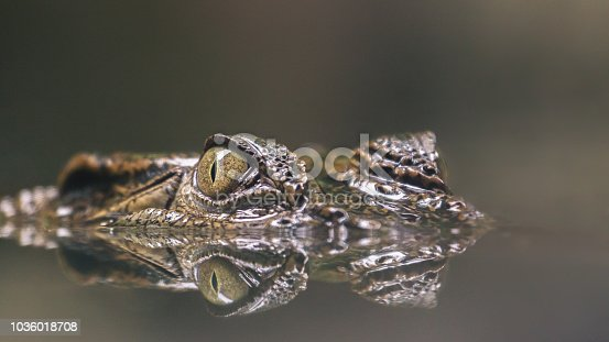 A crocodile hiding silently in the water. Ready to pound on prey. I like this image. The eyes is so sharp. You can see the mirror image on the reflection. Scary but beautiful at the same time.