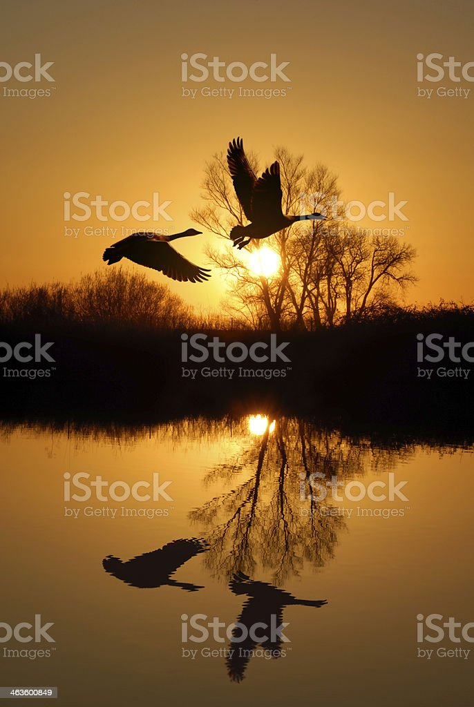 Silhouette at sunset of geese over a Riparian reflection stock photo