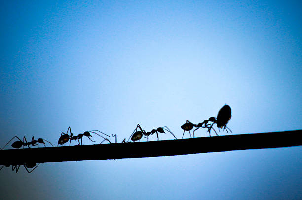 silhouette black ant - ants working together stock photos and pictures