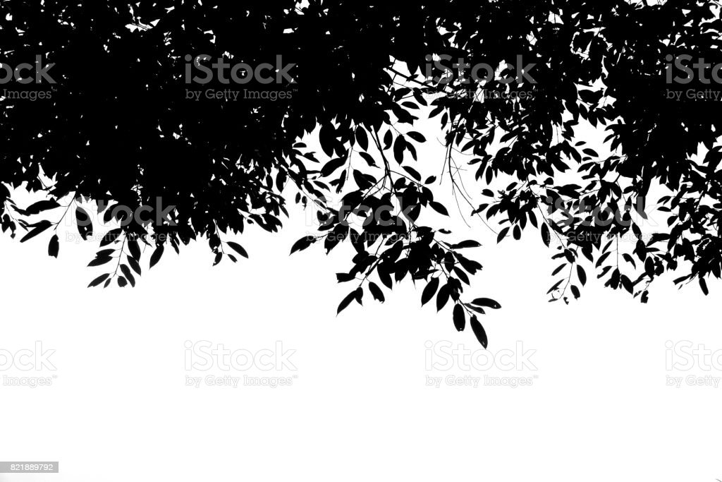 Silhouette Black leaf on the branches isolate on white background stock photo