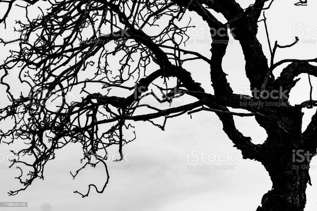 Silhouette dead tree and branch isolated on white background. Black...