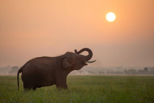 silhouette elefanten vor dem hintergrund der sonnenuntergang, elefanten in thailand surin thai. - elefanten umriss stock-fotos und bilder