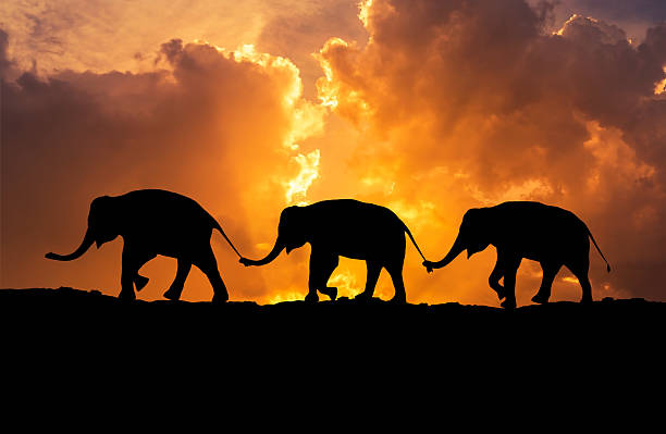 silhouette elephants use trunk hold family tail on sunset silhouette elephants relationship with use trunk hold family tail walking together on sunset animal trunk stock pictures, royalty-free photos & images