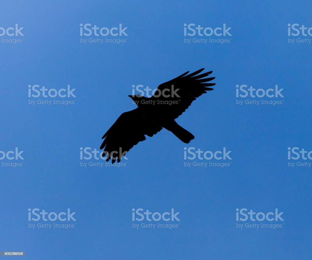 Silhouette of a black raven against a blue sky stock photo